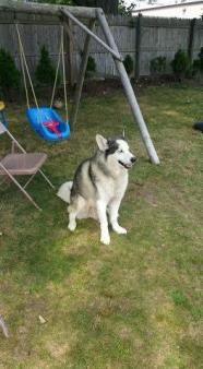 Kane Siberian Husky Pet Search Dog Adoption Dogs