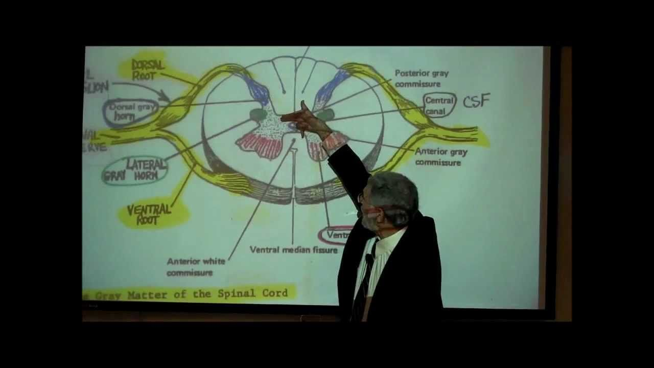 THE SPINAL CORD & SPINAL TRACTS; PART 1 by Professor Fink. Huzzah ...