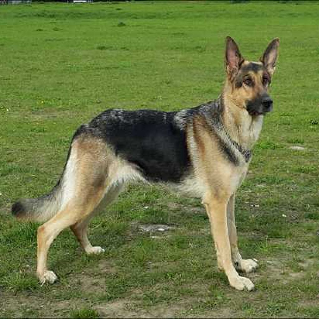 Information About German Shepherd Rescue Southwest Florida