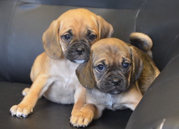 Pug Puppies In Lincoln Lincolnshire Puggle