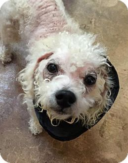 Pin By Uber Wagmore On Adoptable Small Breeds Dogs Poodle