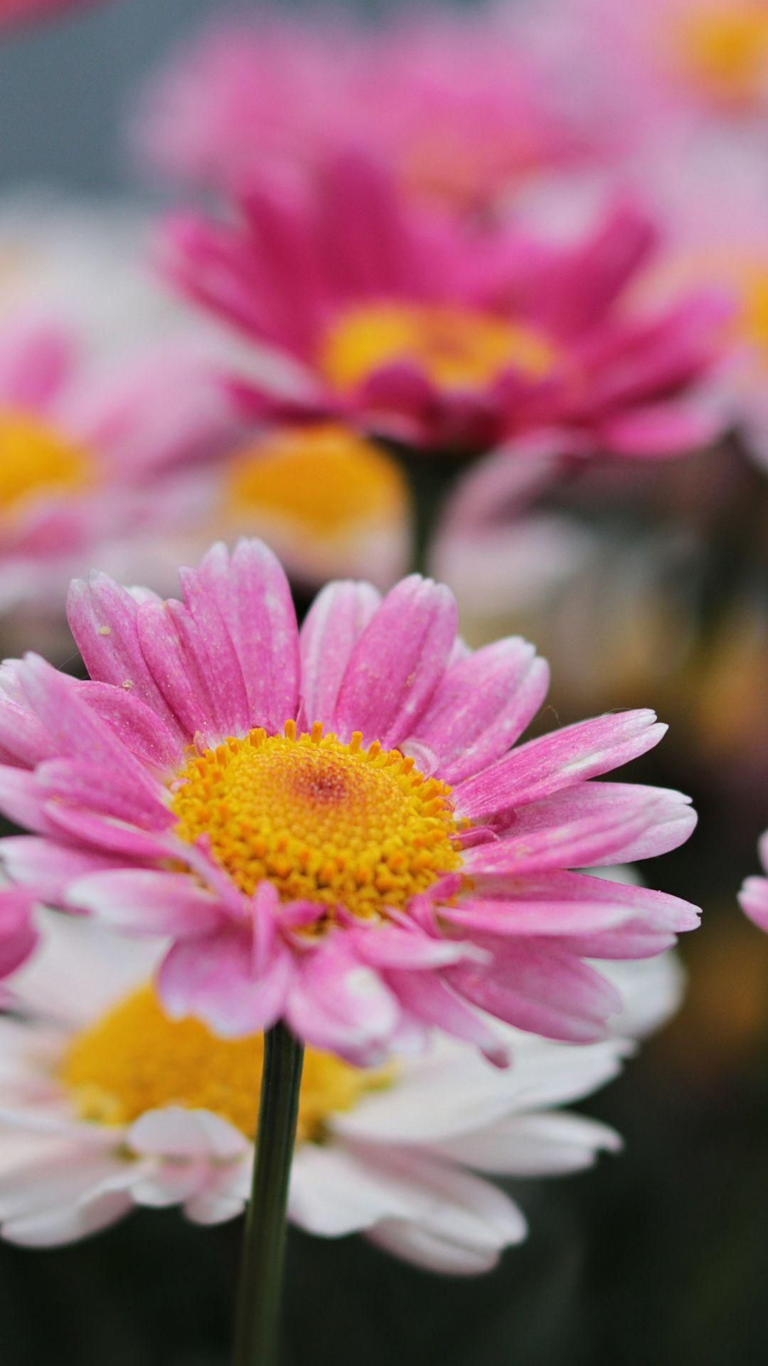 Flowers Meadow Pink Bloom Daisy Wallpaper Flower Iphone