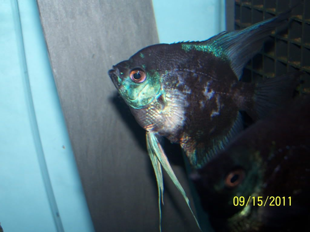 smokey angelfish | Silver Albino Pearlscale Het PB | Angel ...