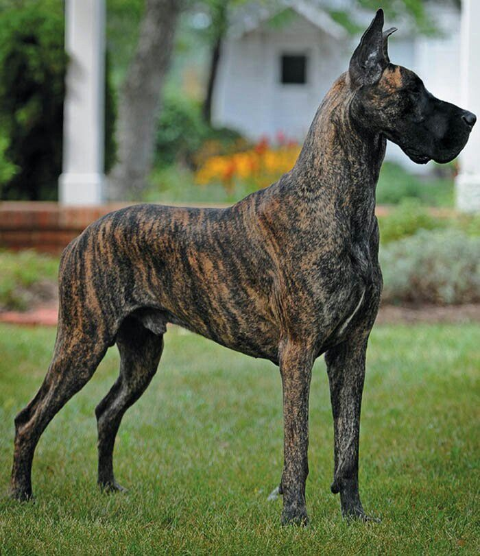 Great Dane Patient And Friendly With Images Dane Dog Great