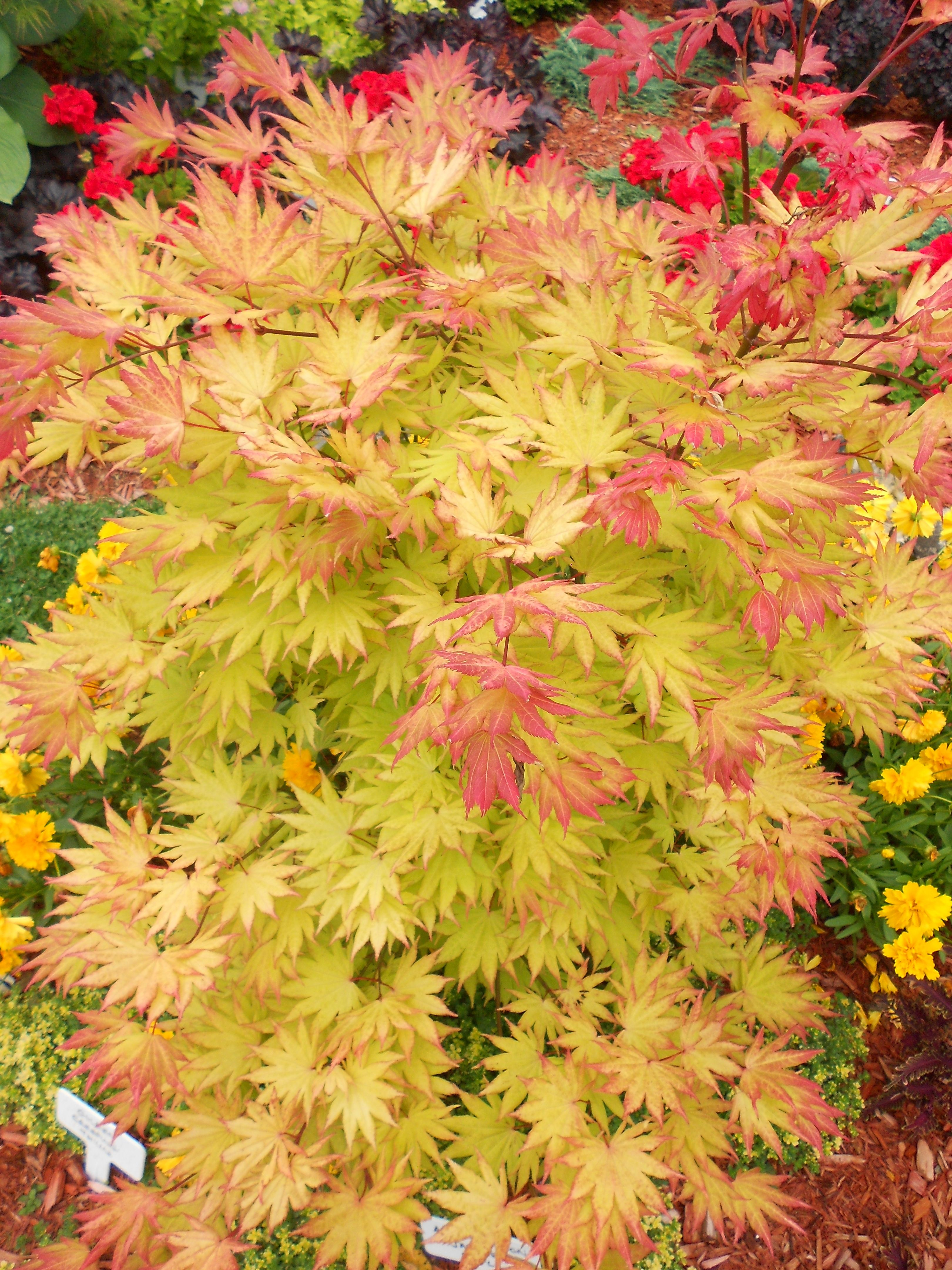 autumn moon japanese maple 1 25m by 1 25m orange yellow in