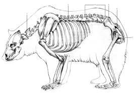 86ea141518bcee7092683427807fa816 black bear skeleton diagram cerca con google bear bone anatomy