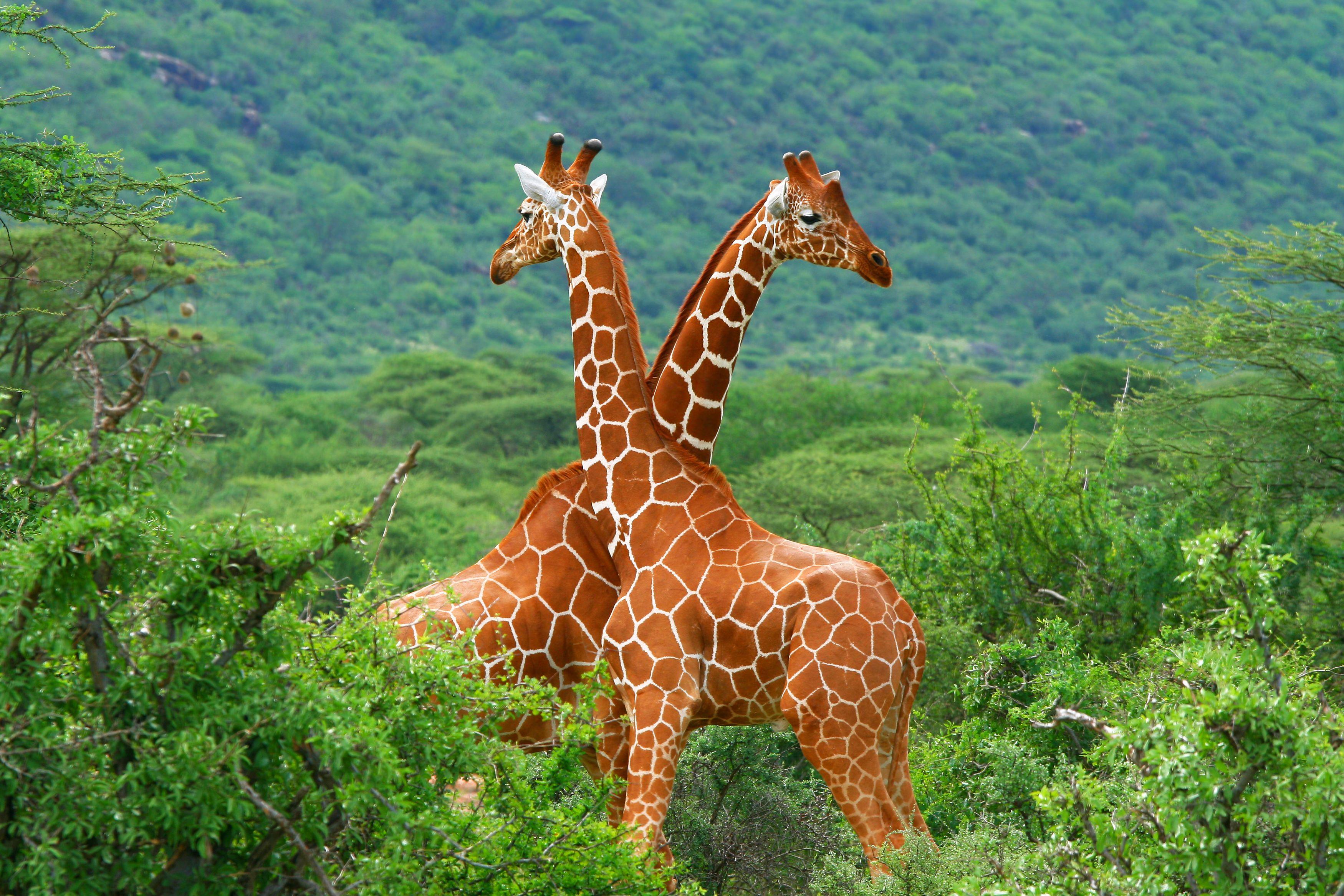 Professionalphotographyinkenya Photographyservicesinkenya Photographyinkenya Photography Is In Our Dna At Conquest Nature Animals Animals Wild Giraffe