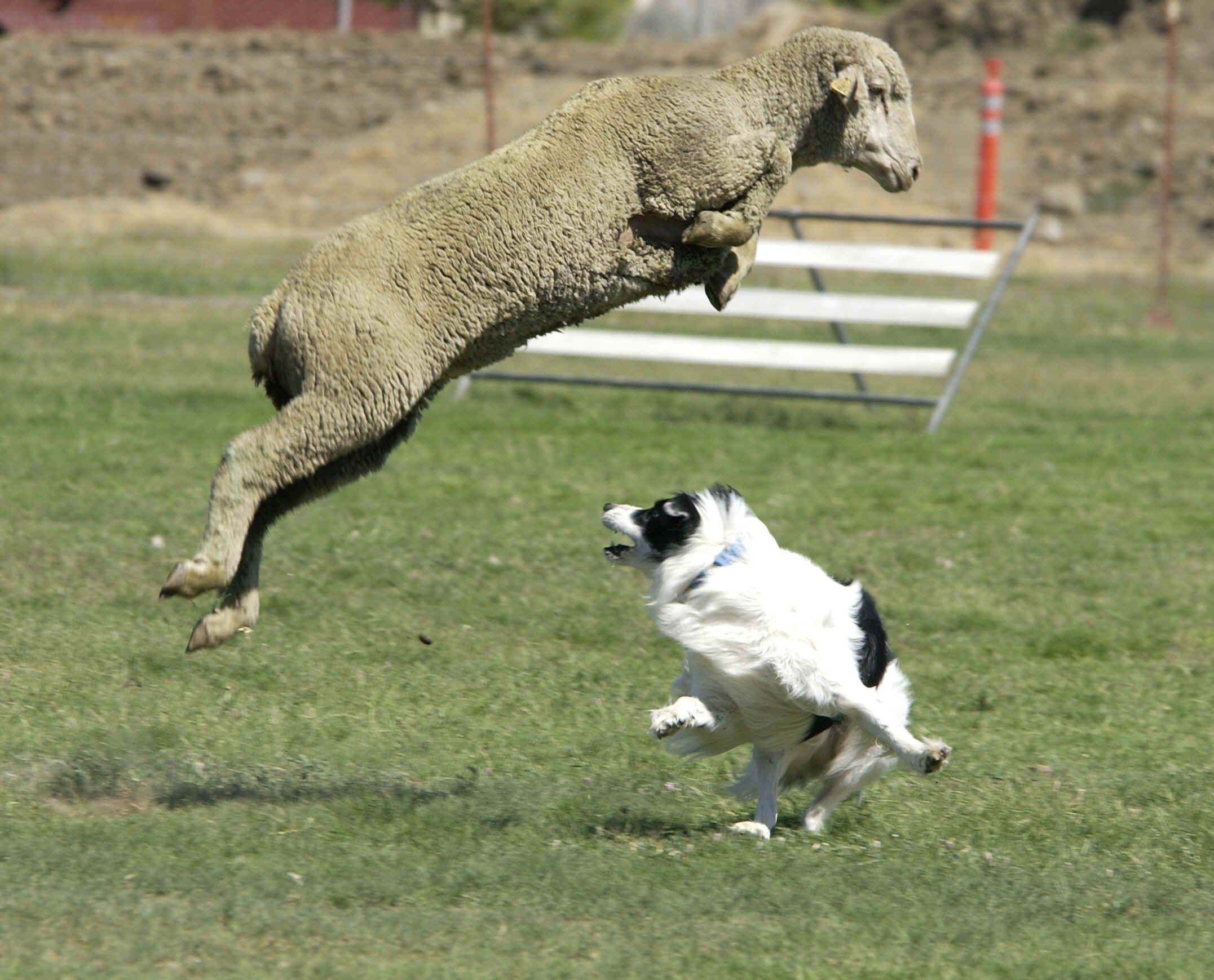 how to train dog to herd sheep