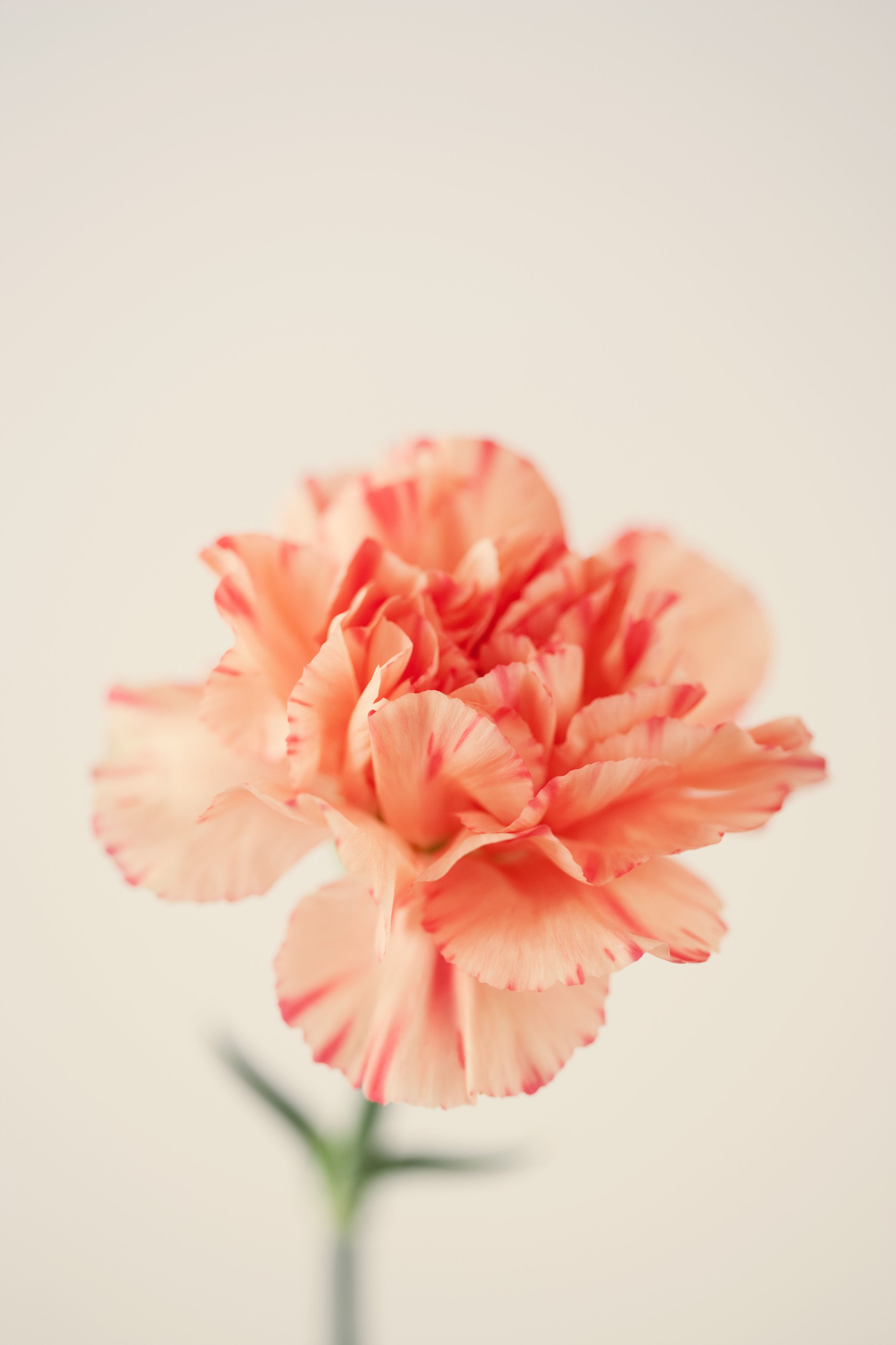 The Surprising Meanings Behind Your Favorite Flowers Carnation Flower Meaning Flowers Flower Meanings
