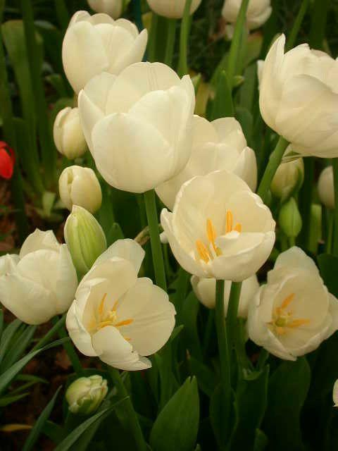tulipe weisse berliner