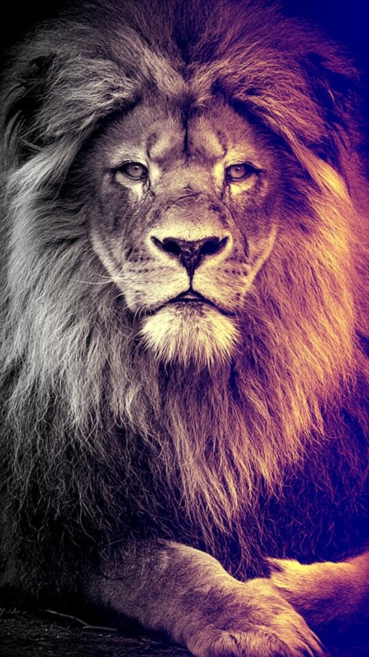 Pretty lion wallpaper   Yeshua ♥   Pinterest   Tigres leon ... 4624486d73