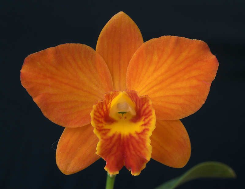 Orchid cattleya little leopard cattleya aclandiae cattleyas were known as the chocolate box orchid because their large flowers used to graze the cover of chocolate boxes today more compact hybrids that mightylinksfo