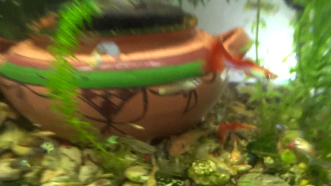 Breeding And Hybrid Guppies Fish Guppy Fish Guppy Tank Wallpaper