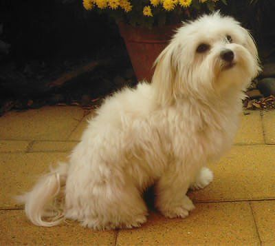 This Is Maltese One Of The Small Breeds Of Hairy Coated Dog
