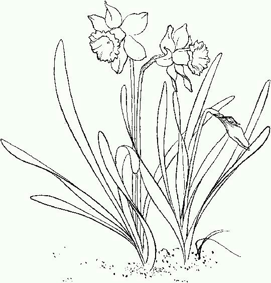 Daffodil Flower Coloring Pages Pansies Art Garden Coloring Pages
