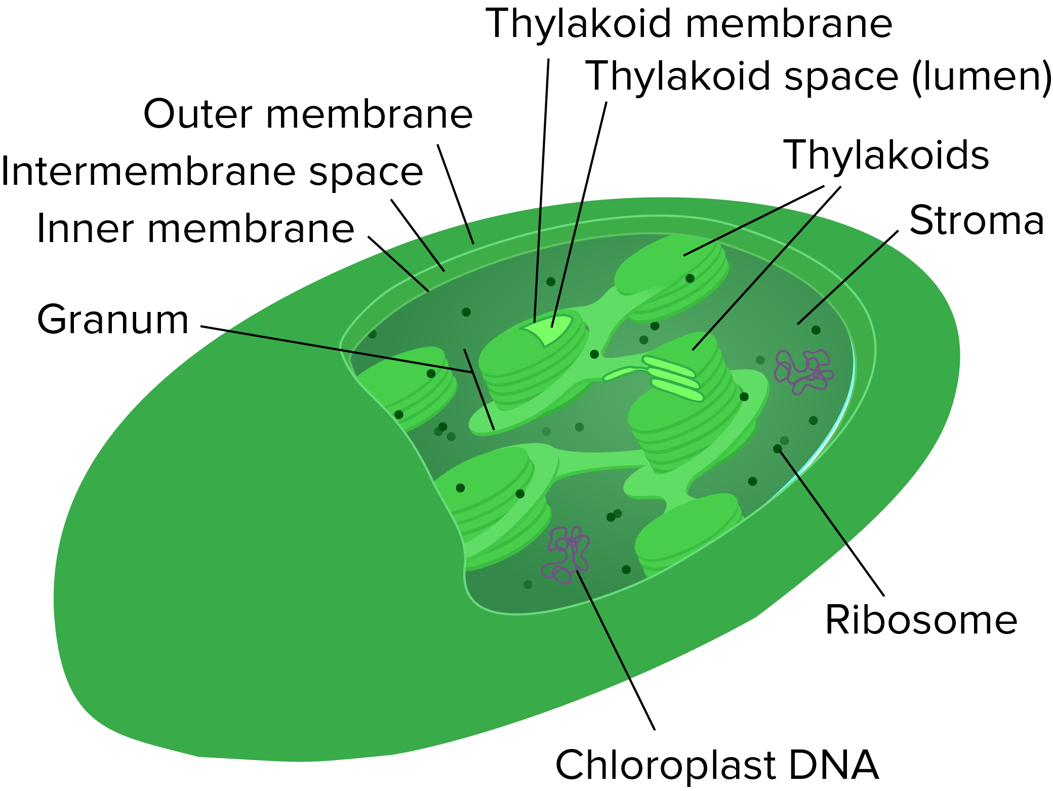 Mitochondria Chloroplasts And Peroxisomes