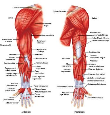 Ul Muscles People Pinterest Muscle Muscle Anatomy And Arm Muscles