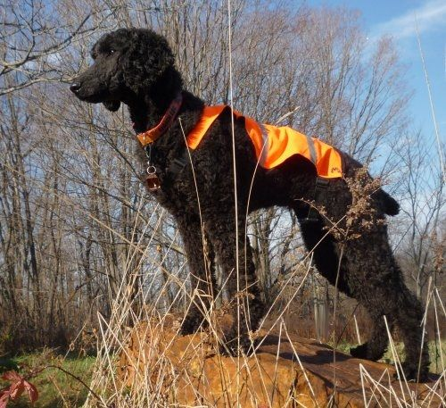 Harmony is a Search and Rescue (SAR) Poodle  | Poodles