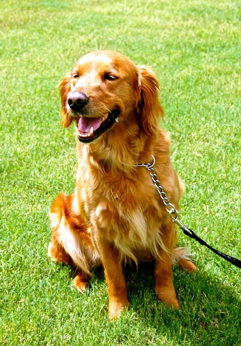 Adopt Daisy Tulsa On Golden Retriever Rescue Dogs Best Dog