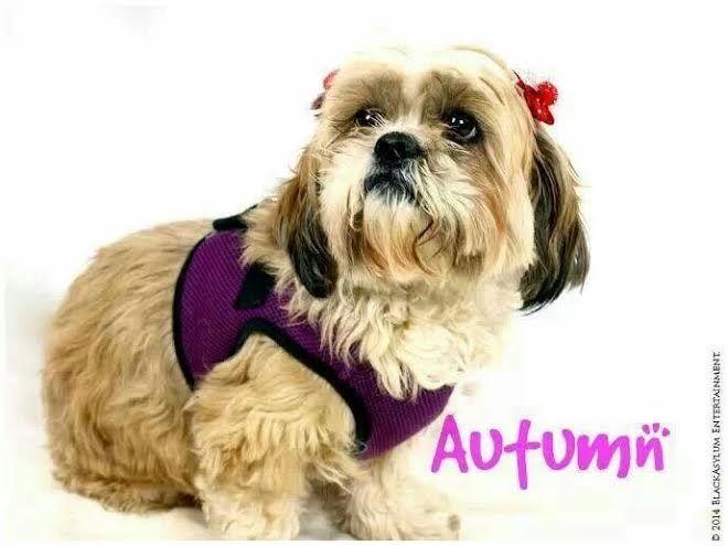 Meet Annie A Petfinder Adoptable Shih Tzu Dog Uniontown Pa