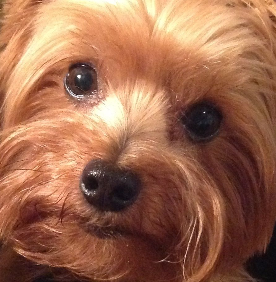Oh, Wesley, You're So Pretty!! Yorkie