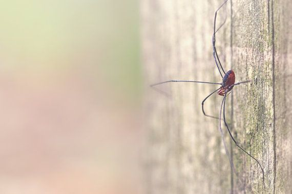 Daddy Long Legs Color Photo Print  brown by photosbynicolelynn, $15.00 #nicolelynnphotography #spider #macrophotography