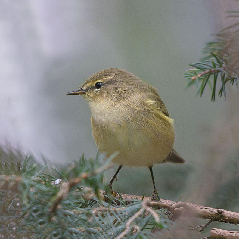 Tjiftjaf Vogels Dieren