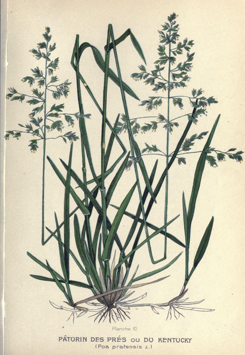 gravures plantes fourrageres - gravure de plante fourragere 0093 paturin des pres ou du kentucky ...