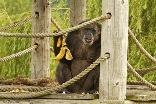 May I have another banana please? The charming Rachel at Fauna, enjoying a banana or six! You can follow their antics on Facebook!       #chimpanzee#primate#faunachimps#great ape#rachel#banana#chimp#sanctuary