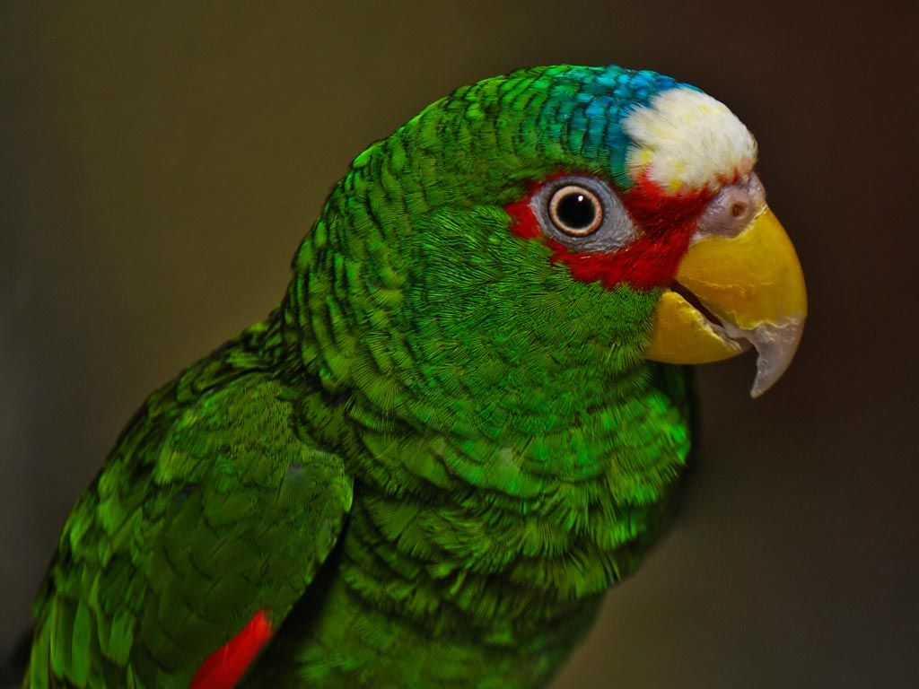 White-fronted Amazon (Amazona albifrons).