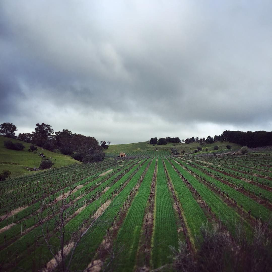 Another winter's day, another few rows to prune... #Barossa #BarossaDirt #vineyard #winter #clouds #viticulture #winecountry #BarossaValley #SouthAustralia #pruning #wine #winery