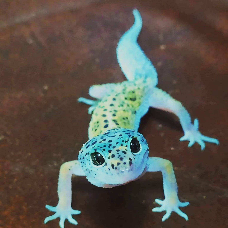 The Pet Enthusiast in 2020 Cute reptiles, Cute lizard