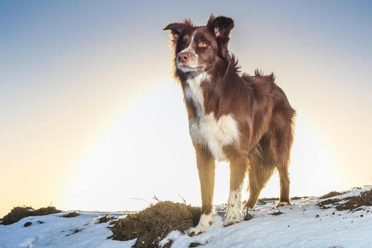 How Much Does A Purebred Border Collie Roughly Cost Smartest Dog Breeds Border Collie Collie