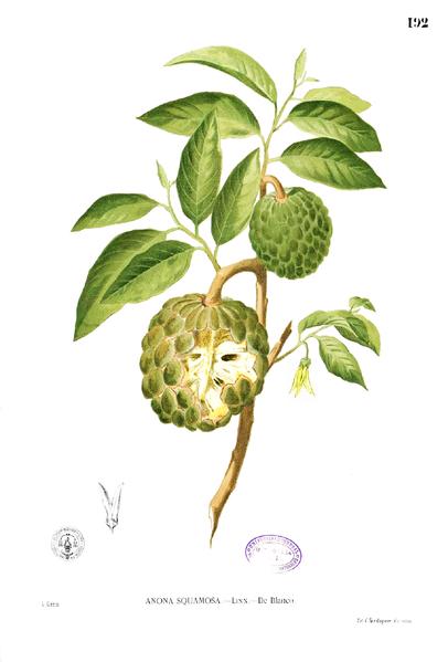 Pomme Cannelle Ou Zatte Dessins Botaniques Botanique Et