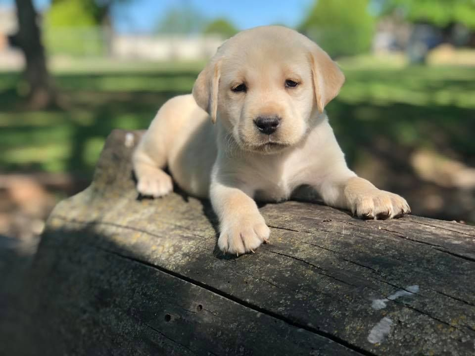 Yellow Lab Puppies For Sale Lab Puppies Yellow Lab Puppies Black Labrador Puppy