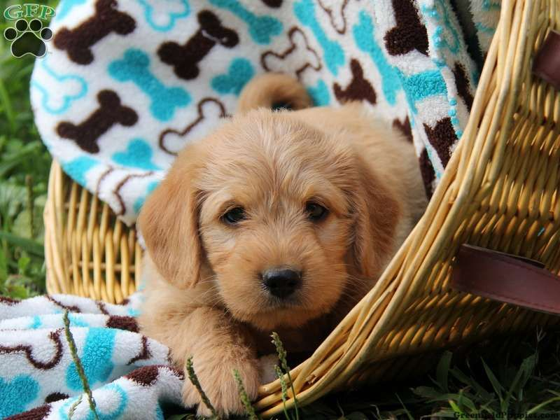Teddy Blue, Mini Labradoodle puppy for sale in Paradise
