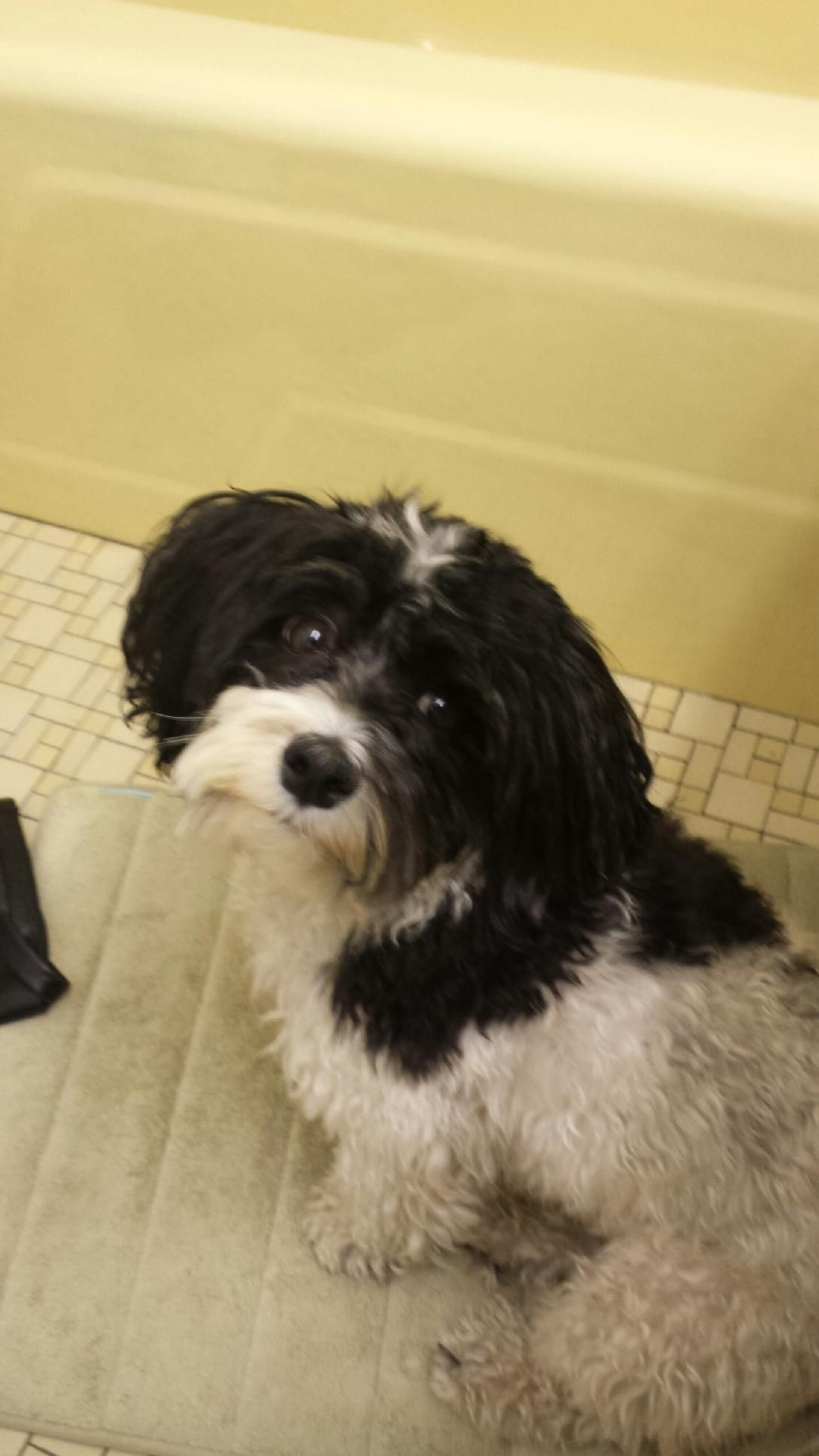 Charlie Doesn T Want To Take A Bath Dog Havanese Bath Pets