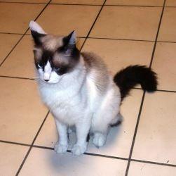 Adopt Frisco Texas Nikki On Petfinder Pet Finder Ragdoll Cat