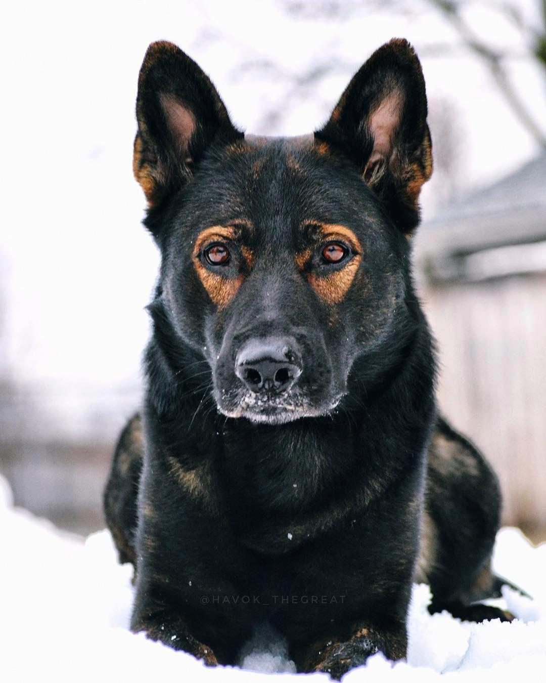 German Shepherd Strong And Loyal German Shepherd Puppies