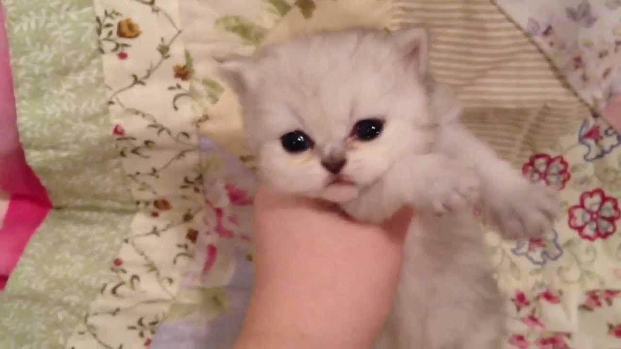 Yoshi Teacup Shaded Silver Persian Kitten For Sale From Daphne S Persian Kittens For Sale Cat Adoption Persian Kittens