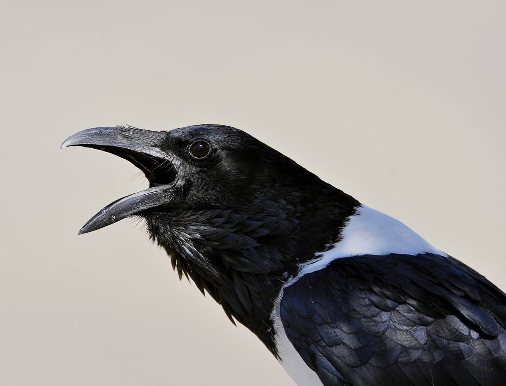 pied crow        (photo by wildlife fred25)