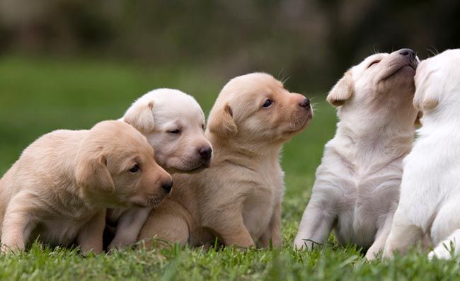 English Labrador Retriever Puppies For Sale English Lab Puppies In 2020 Labrador Retriever Puppies English Lab Puppies Lab Puppies