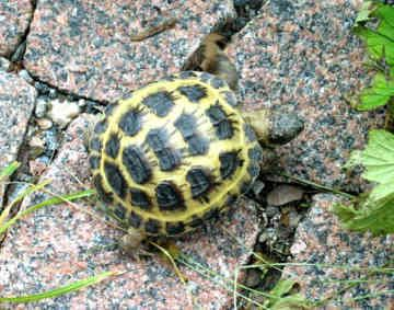 Russian Tortoises If Turtles Could Talk I D Believe Everything They Said Tortue