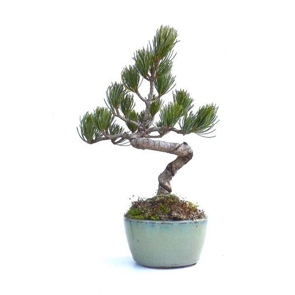 vente en ligne de bonsai pinus pentaphylla pin blanc du japon 27 cm 140301 sankaly bonsa. Black Bedroom Furniture Sets. Home Design Ideas
