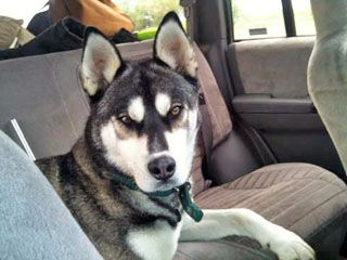 Lost Siberian Husky This Black And White Four Year Old Neutered Male Siberian Husky Named Ink Was Last Seen 10 5 Husky Siberian Husky Siberian Husky Names