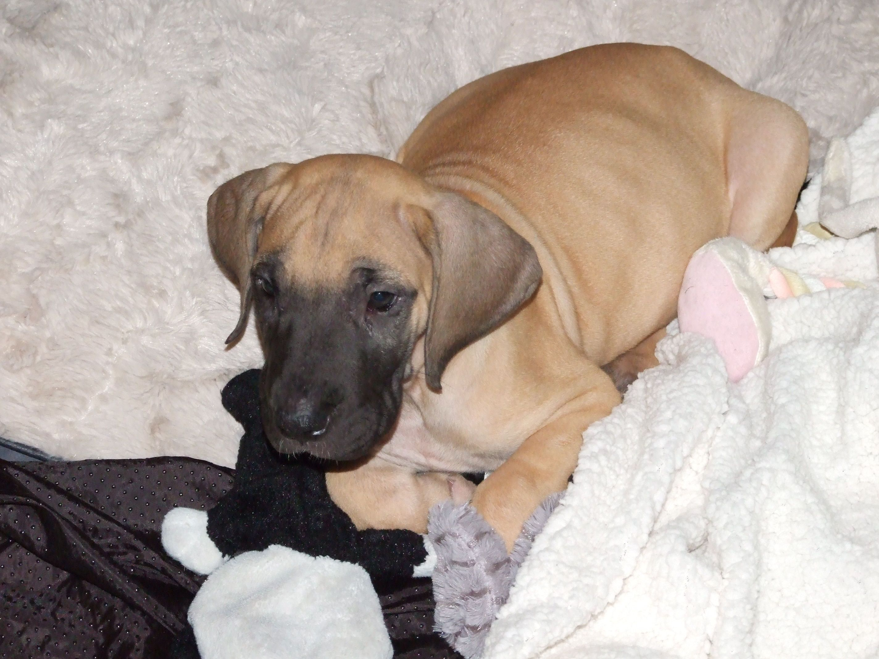 8 Week Old Joseph Junior Jj For Short Fawn Great Dane Puppy