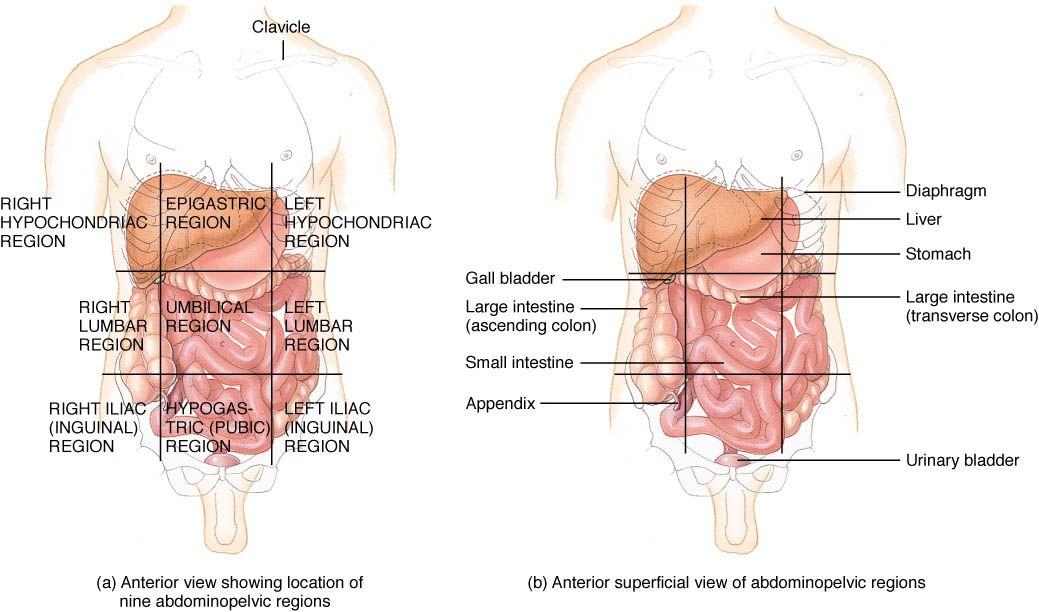 abdominopelvic regions | ... locate the quadrants of the ...