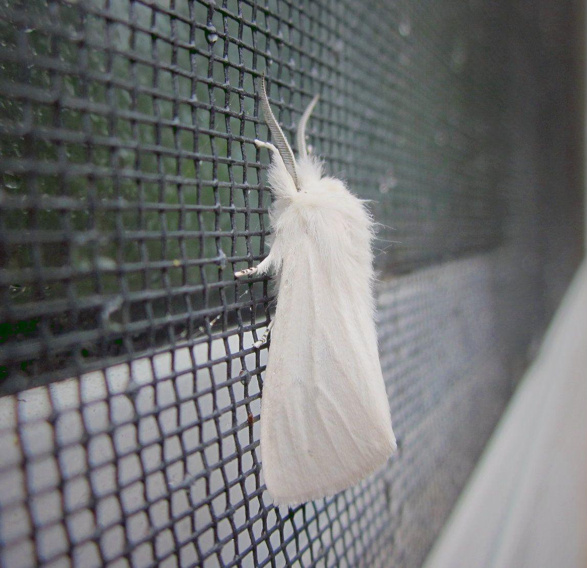 fuzzy white moth
