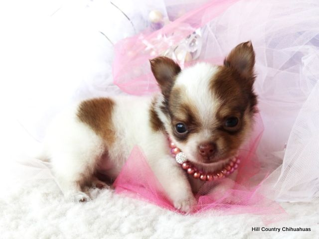 Puppies For Sale Baby Chihuahua Cute Teacup Puppies Chihuahua