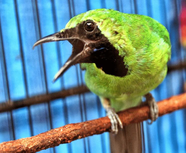 Mengetahui Ciri Ciri Burung Cucak Hijau Siap Lomba Burung Cantik Hijau Hewan